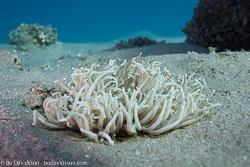 BD-121126-Aqaba-7005-Heteractis-magnifica-(Quoy---Gaimard.-1833)-[Magnificent-sea-anemone].jpg